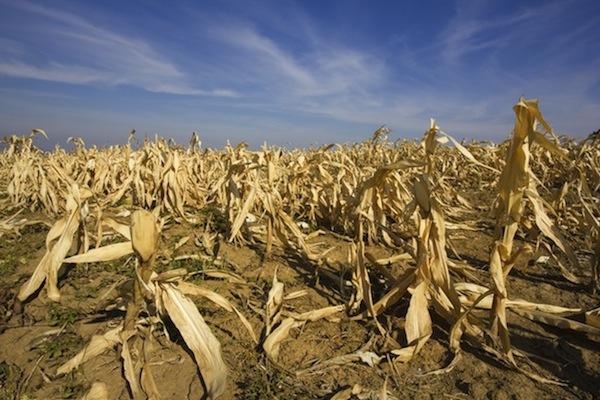 devastated corn field